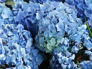 nantucket-blue-hydrangea