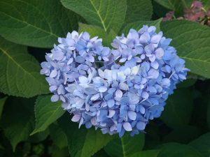 nikko-blue-hydrangea