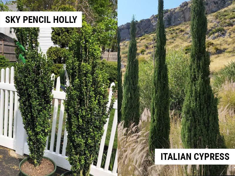 sky-pencil-holly-vs-italian-cypress