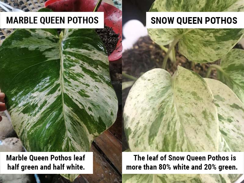 Snow Queen Pothos vs Marble Queen Pothos Leaves