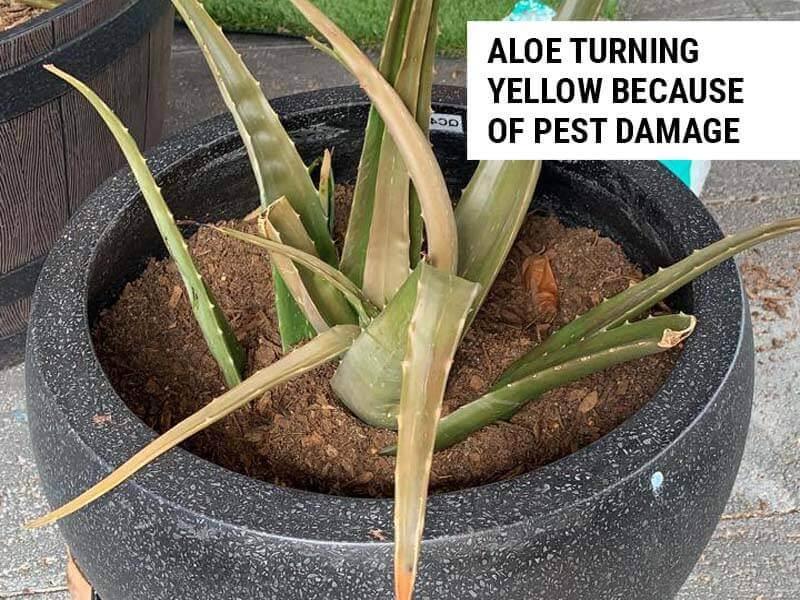 Pest damage