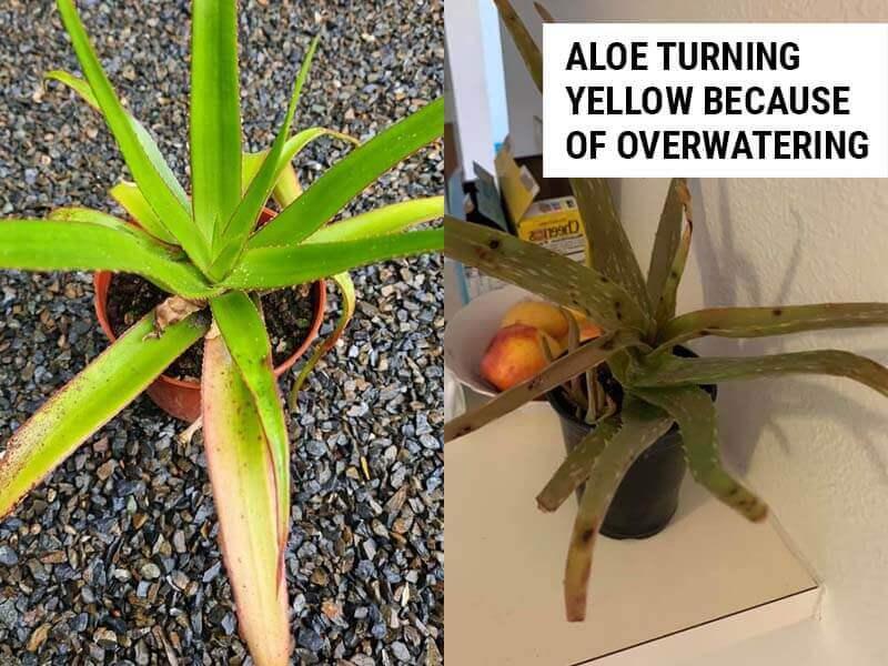 Aloe turning yellow
