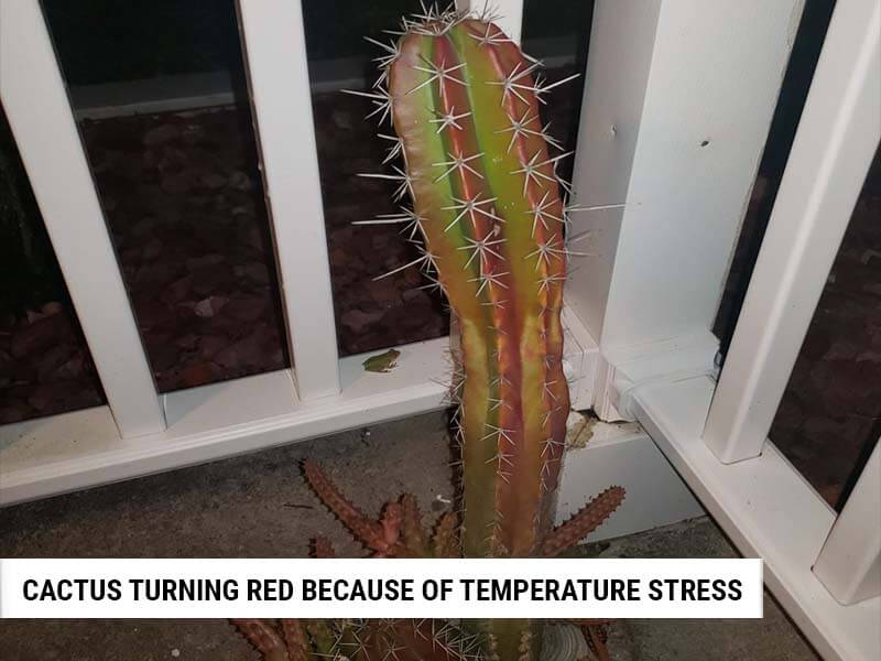 Cactus turning red because of temperature stress