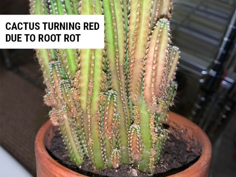 Cactus turning red due to root rot