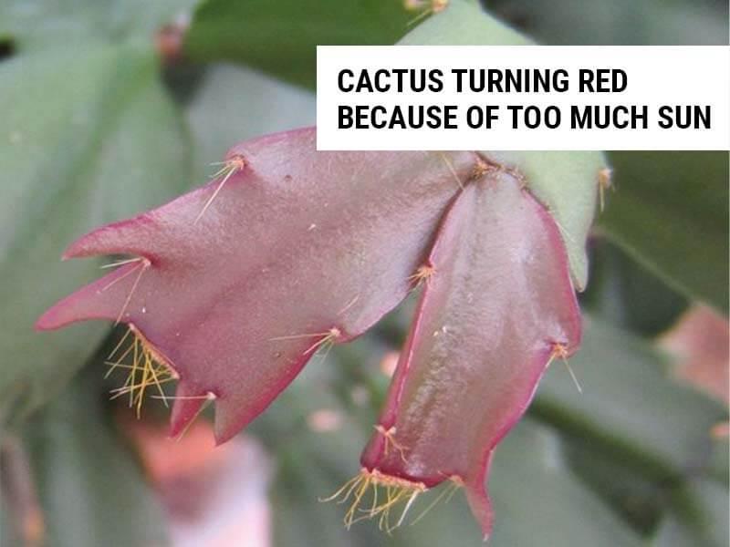 Cactus turning red