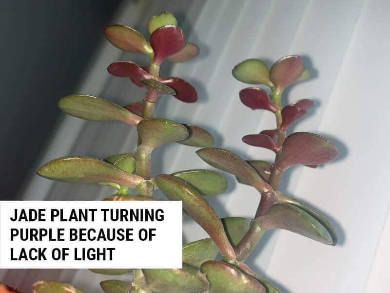 Jade plant turning purple because of lack of light