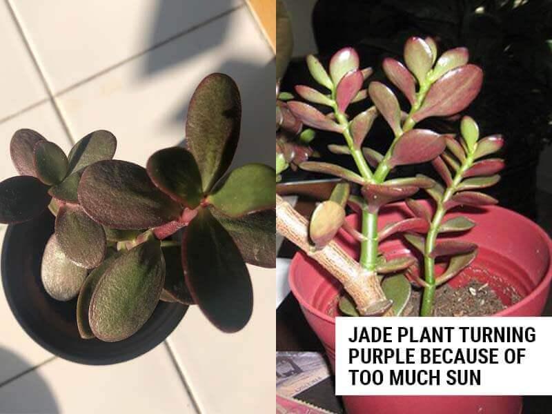 Jade plant turning purple