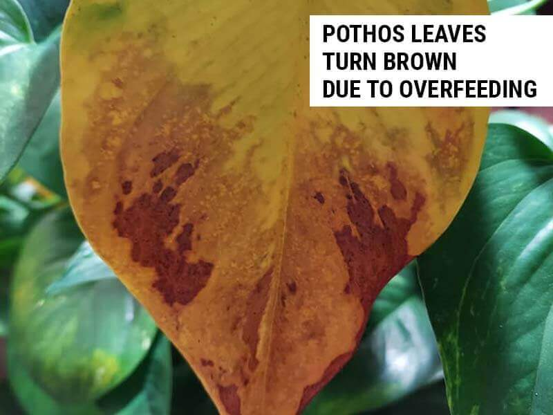 Pothos leaves turn brown due to overfeeding.