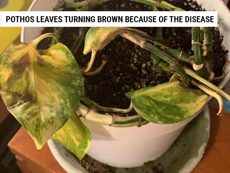 Pothos leaves turning brown because of the disease