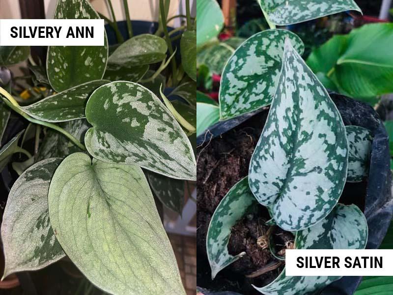 Silvery Ann vs Silver Satin Pothos