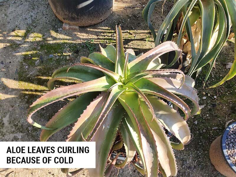 Aloe leaves curling because of cold.