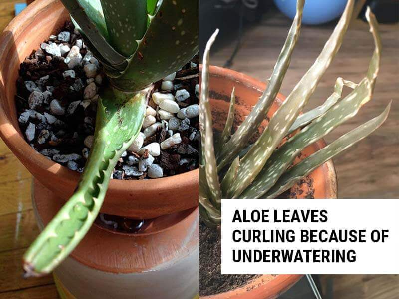 Aloe leaves curling because of drought stress.