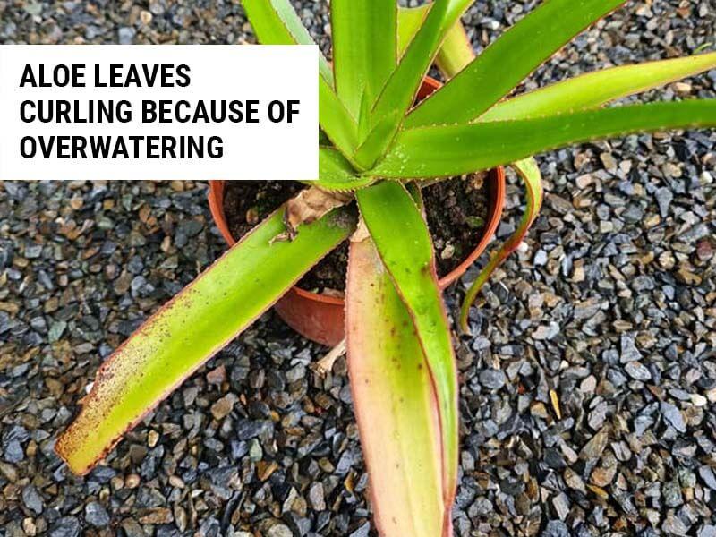Aloe leaves curling because of overwatering