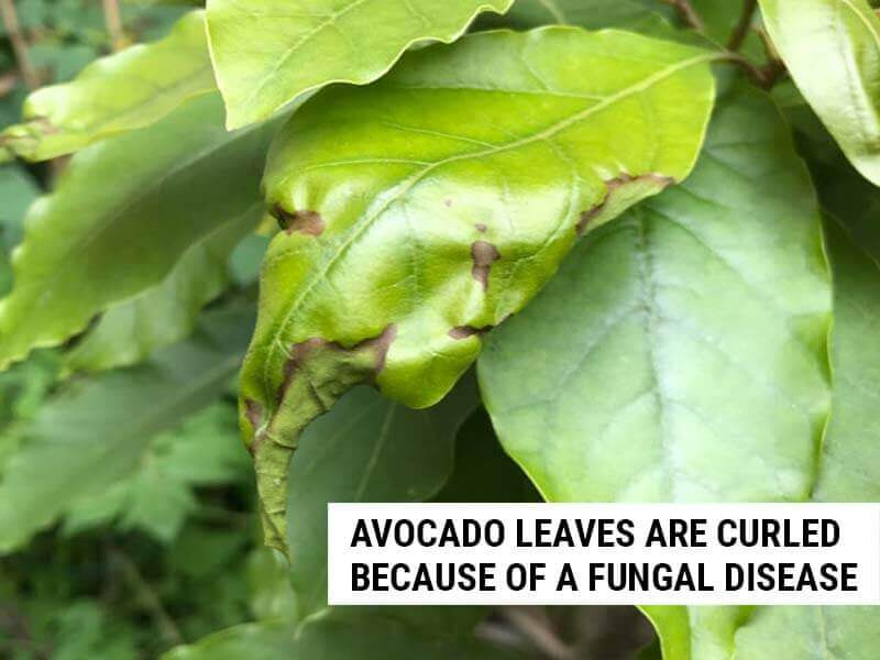 Avocado leaves are curled because of a fungal disease.