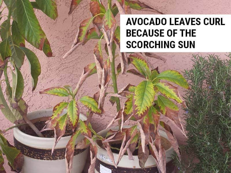 Avocado leaves curl because of the scorching sun.