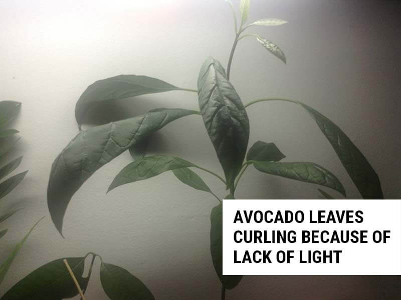 Avocado leaves curling because of lack of light