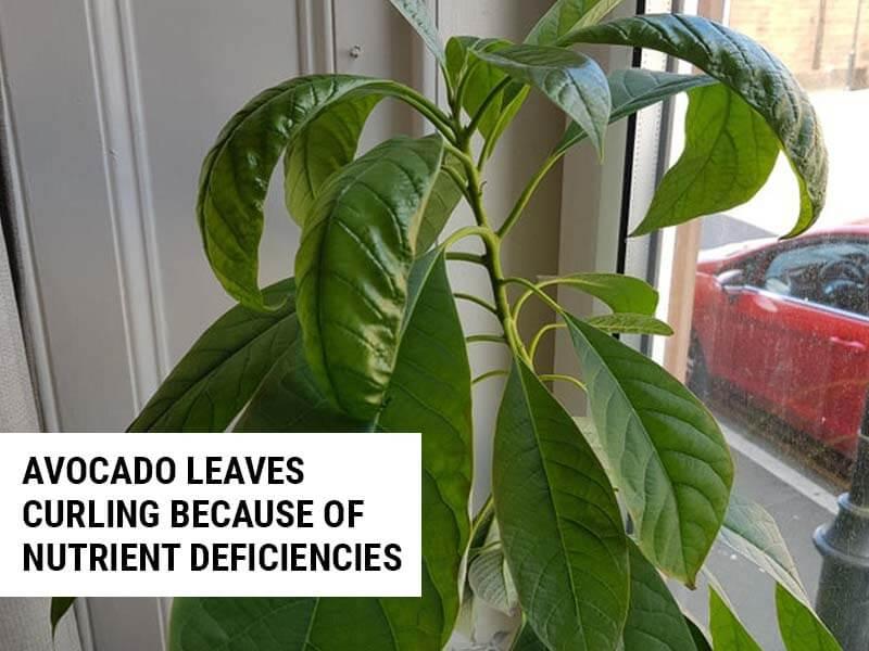 Avocado leaves curling because of calcium deficiency