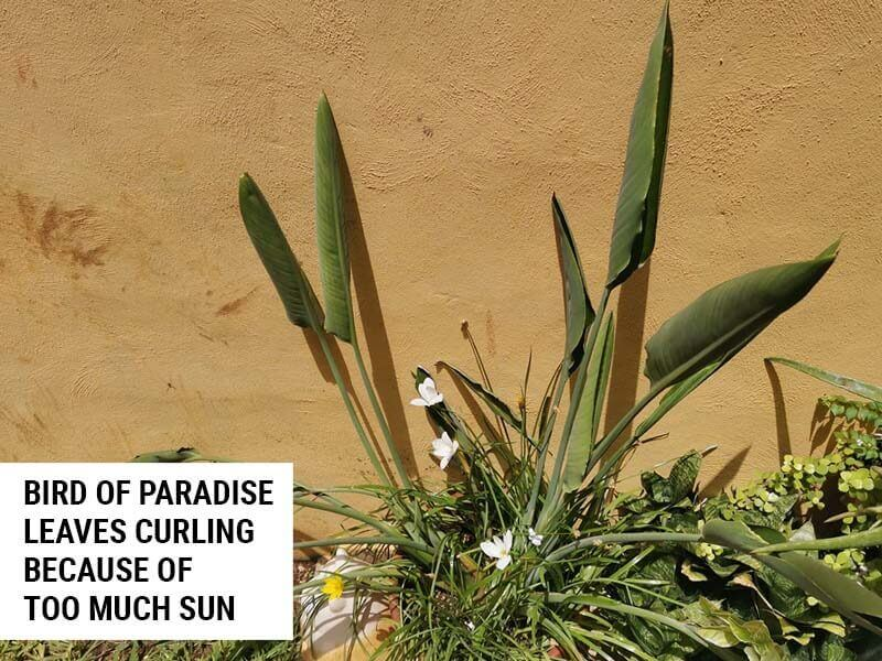 Bird Of Paradise leaves curling because of too much sun.