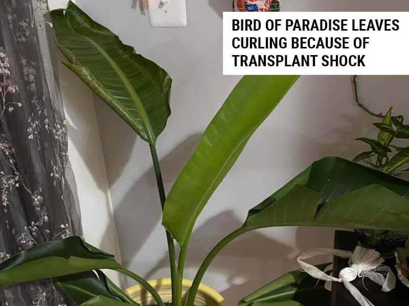 Bird Of Paradise leaves curling because of transplant shock.