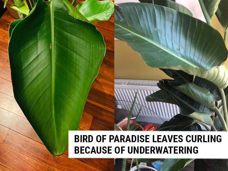 Bird Of Paradise leaves curling