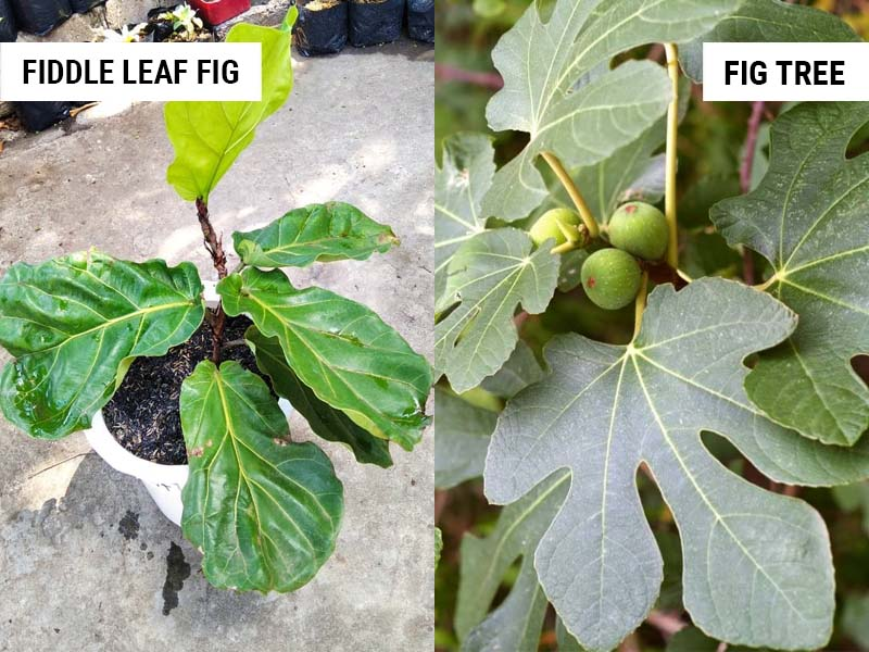 Fiddle Leaf Fig vs Fig Tree