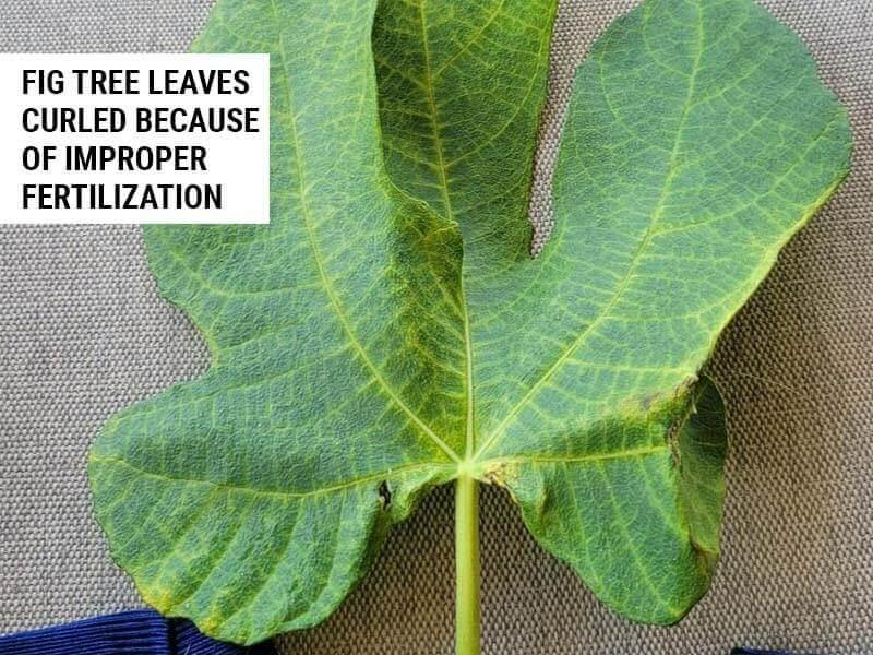 Fig tree leaves curled because of improper fertilization.