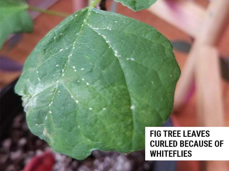 Fig tree leaves curled because of whiteflies.
