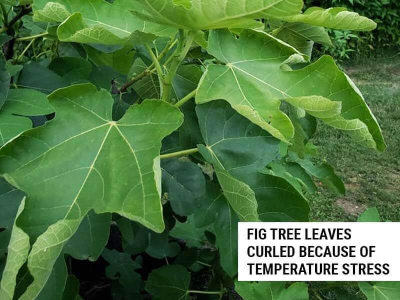 Fig tree leaves curled because of temperature stress.
