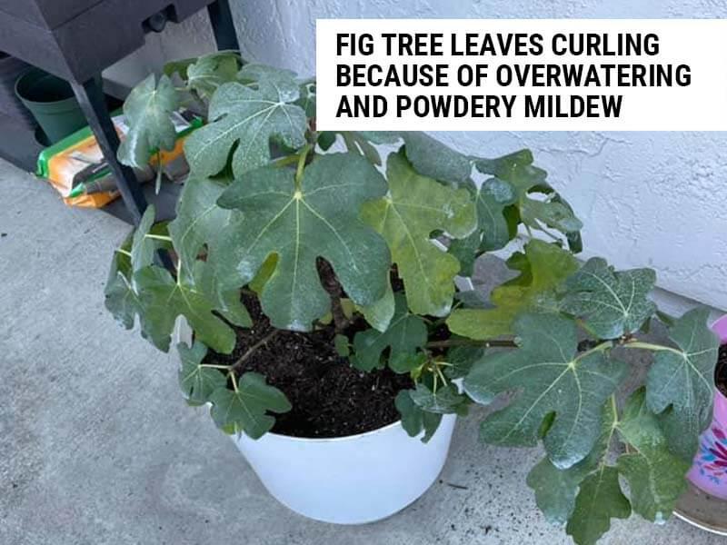 Fig tree leaves curling because of overwatering