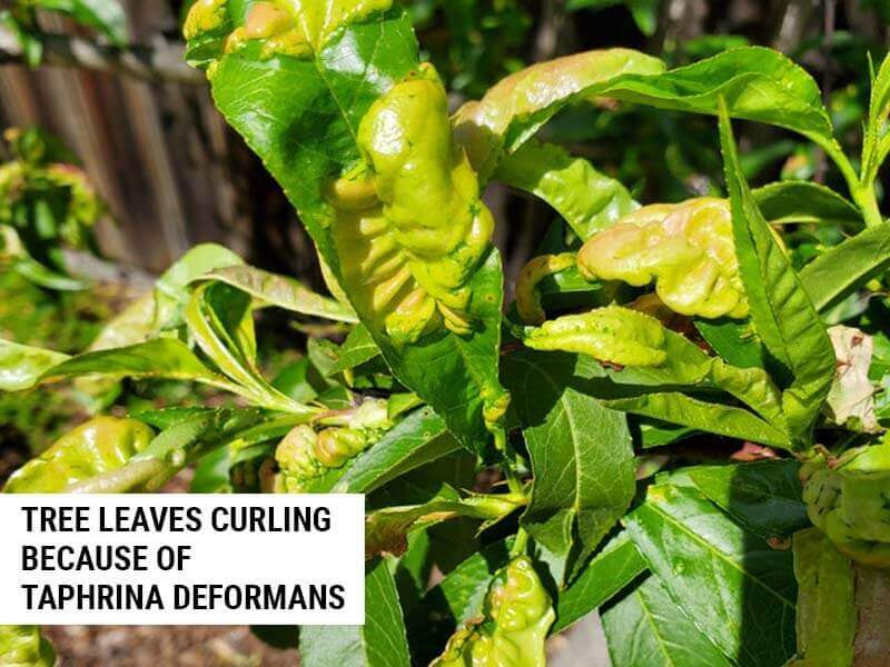 Fig tree leaves curled because of Taphrina deformans.