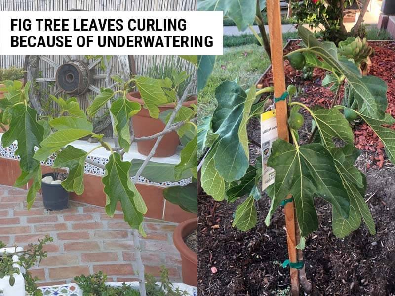 Fig tree leaves curling