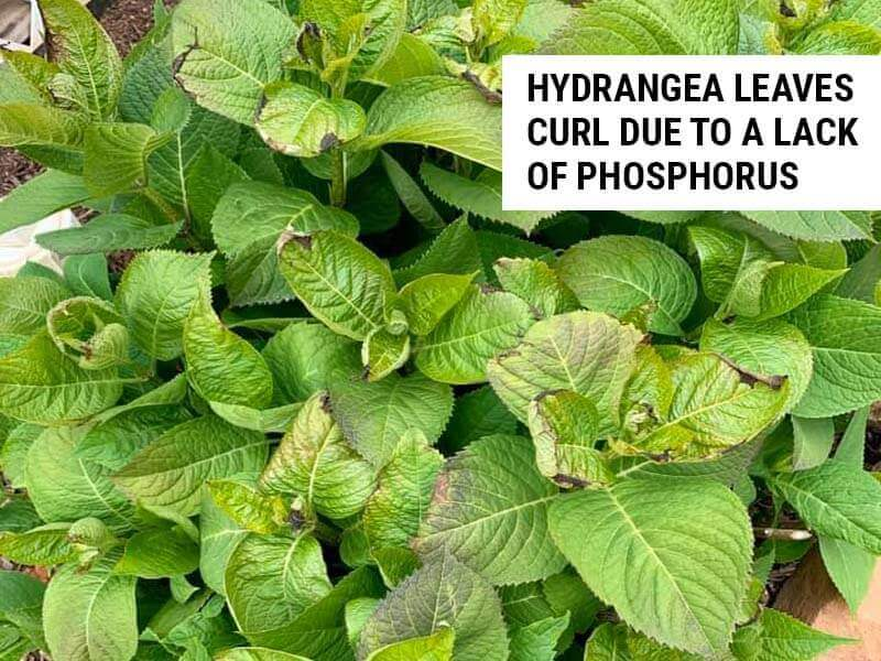 Hydrangea leaves curl due to a lack of phosphorus.