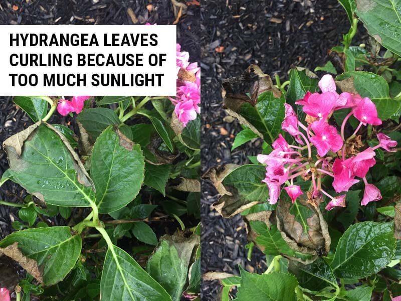 Hydrangea leaves curling