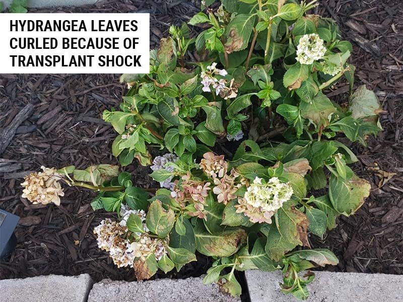 Hydrangea leaves curled because of transplant shock.