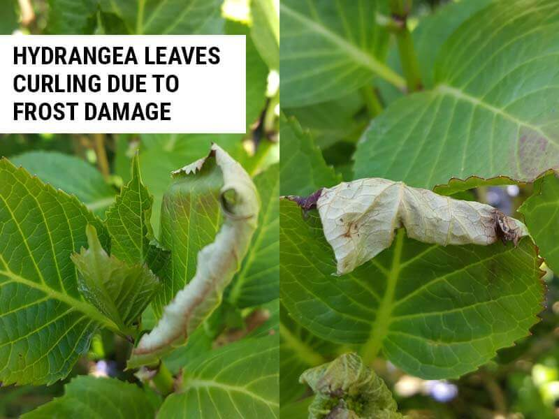 Hydrangea leaves curling due to frost damage