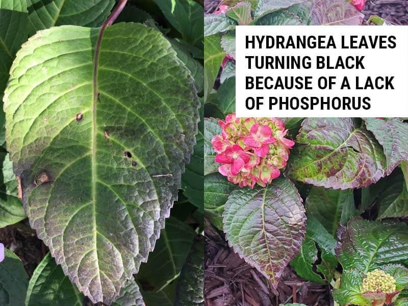 Hydrangea leaves turning black because of a lack of phosphorus.