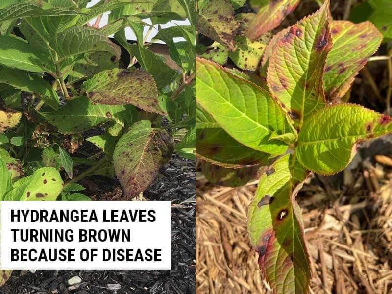 Hydrangea leaves turning brown because of disease