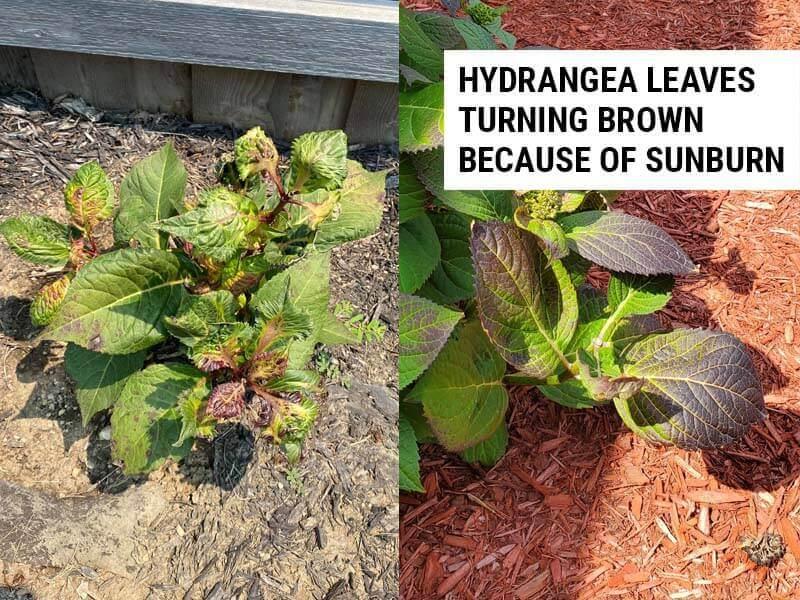Hydrangea leaves turning brown because of sunburn