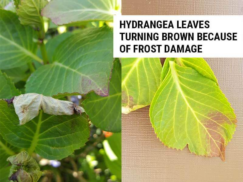 Hydrangea leaves turning brown because of frost damage