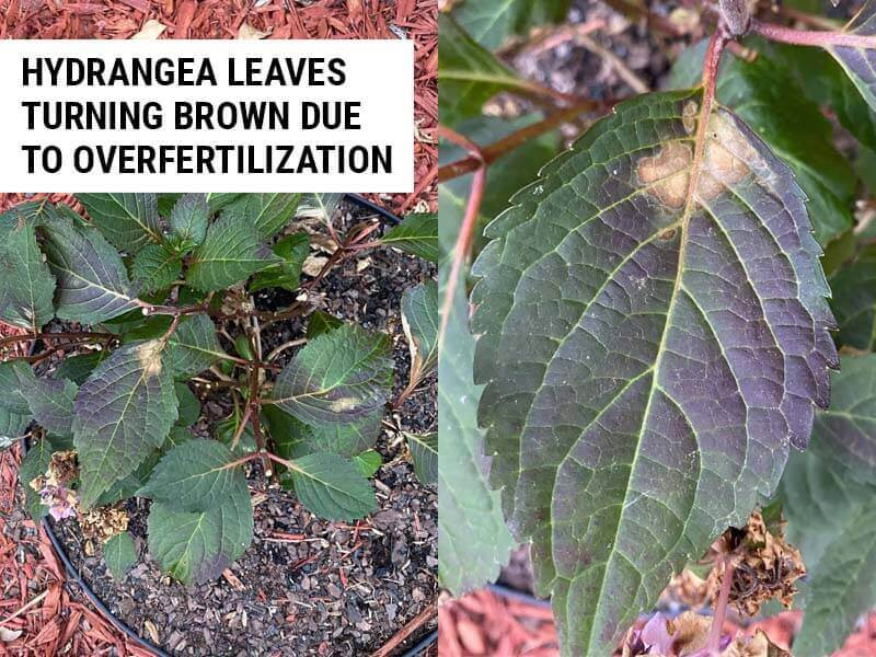 Hydrangea leaves turning brown due to overfertilization