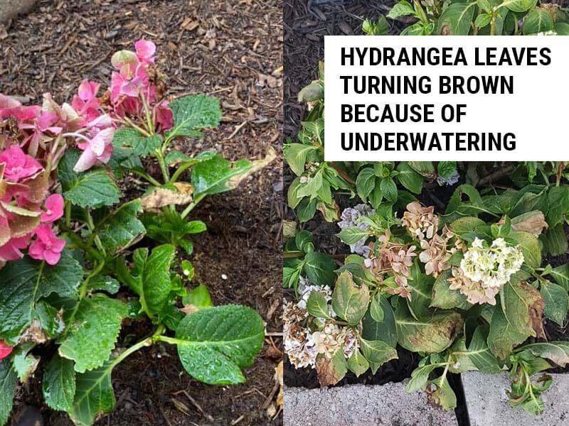 Hydrangea leaves turning brown