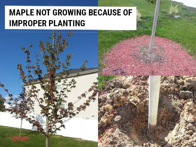Maple not growing because of improper planting