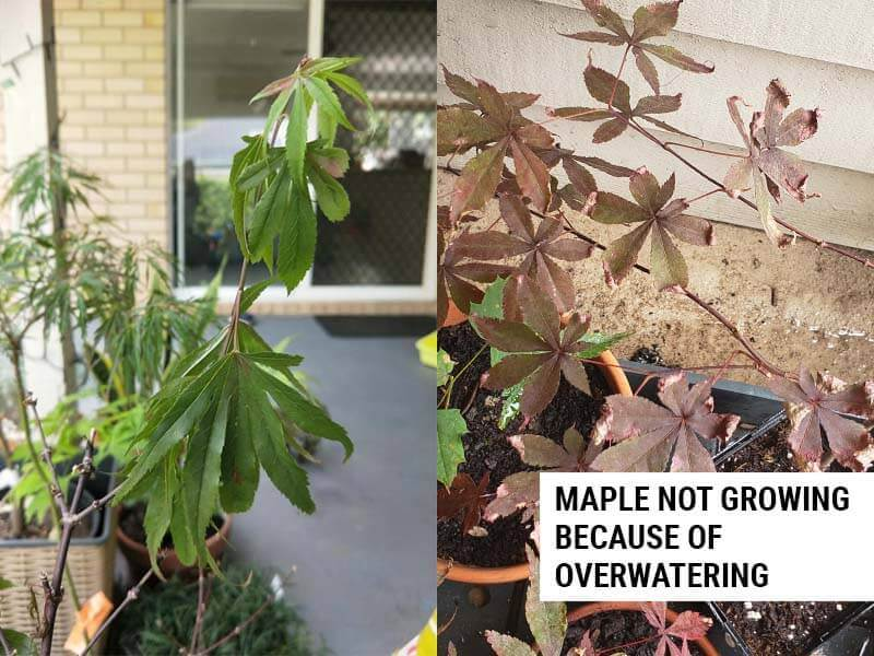 Maple not growing because of overwatering.