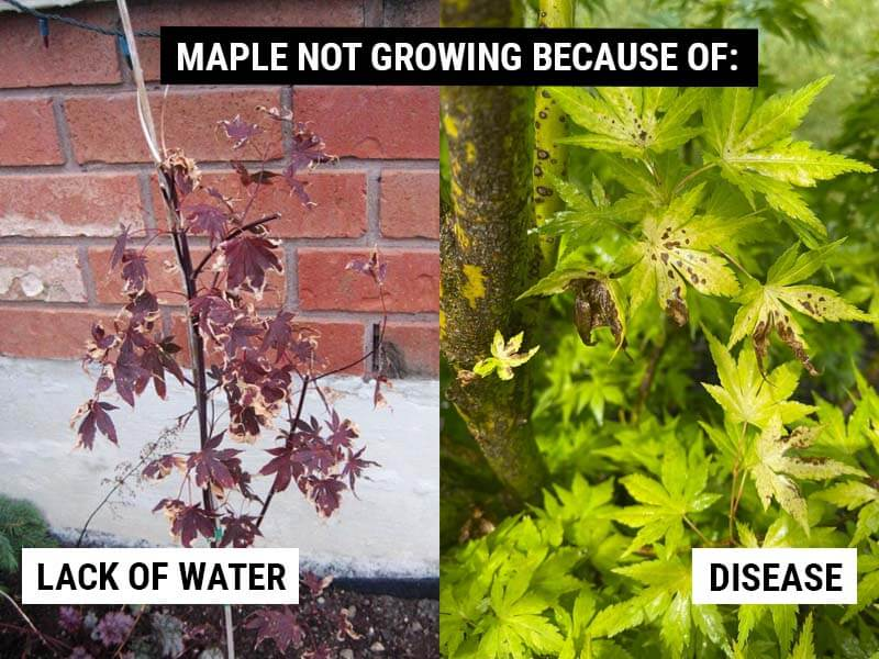 Maple Not Growing