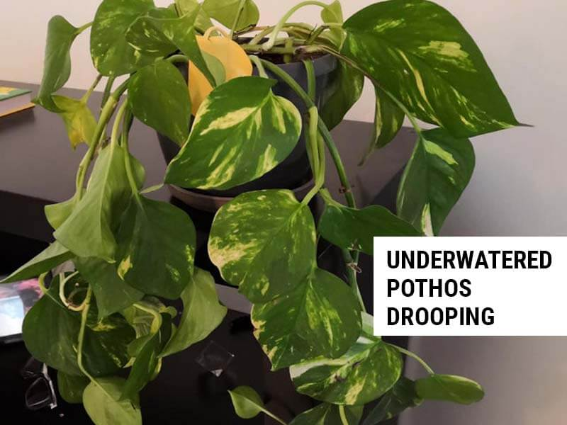 Pothos drooping