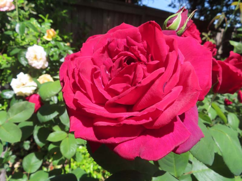 Rose pros and cons