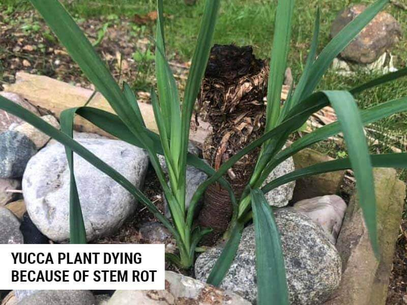 Yucca plant dying because of stem rot.