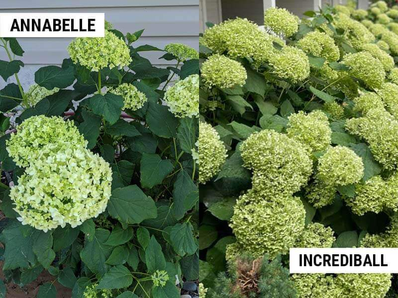 Annabelle and Incrediball hydrangeas turning green