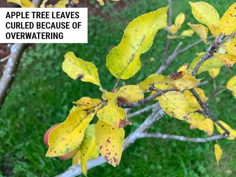 Apple tree leaves curled because of overwatering.