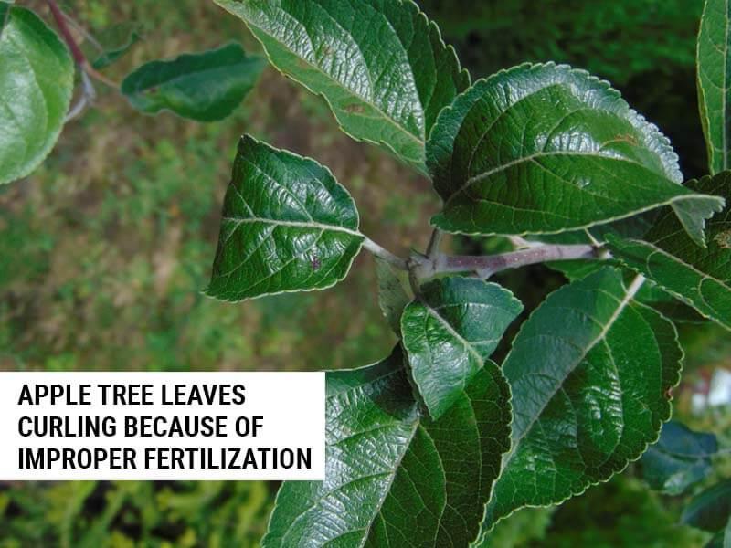 Apple tree leaves curling because of improper fertilization.